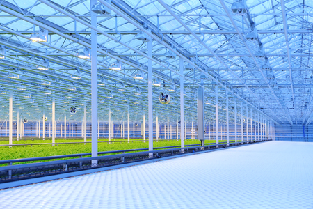 Green salad growing in greenhouse, equipment and lighting Stock Photo