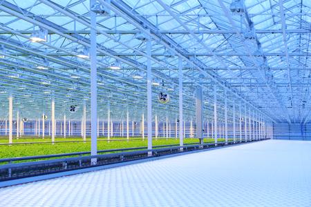 Groene salade groeien in de kas, apparatuur en verlichting Stockfoto