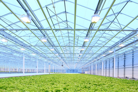 Oświetlenie zieloną sałatą rośnie w szklarni