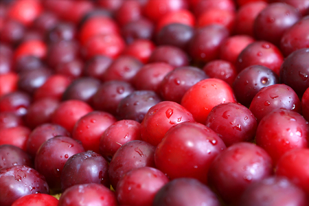 harvest background: Background of a harvest of juicy cherry plums