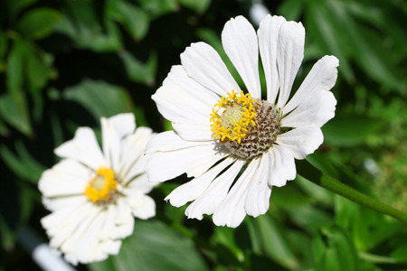 the stamens: Garden flower camomile with peslte and stamens