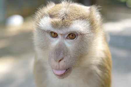 Portrait of adult monkey with brown eyes