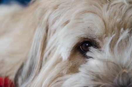 sheepdogs: A sheepdog brie inside a house