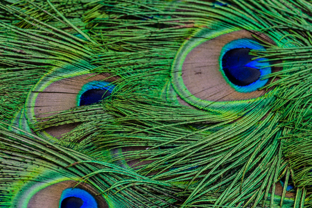 pattern of peacock feathers