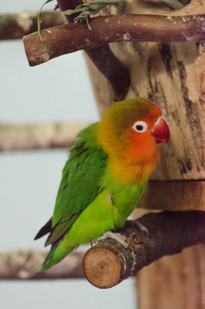 Multicolor little parrot on branch Stock Photo