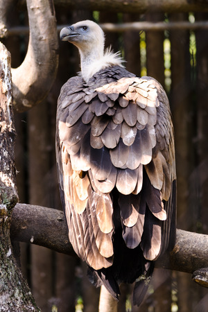 A big vulture on a tree take some rest