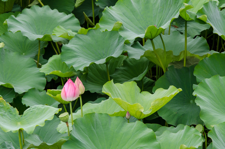 A lily ready to blossom in a green field