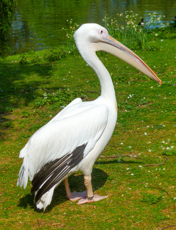 A pelican relaxes at the park under the sun