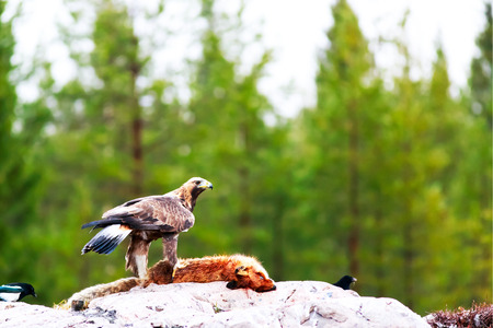 wing span: Golden eagle with red fox bait