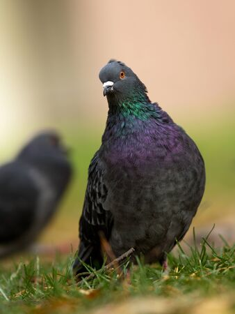 approachable: Feral pigeon is a common bird found in cities, so is also called as city pigeon. They are very friendly and approachable. This picture was shot at our backyard.