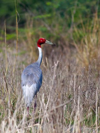 portait: Sarus Crane (Grus antigone): Sarus crane is a large bird of flight. They pair for life.