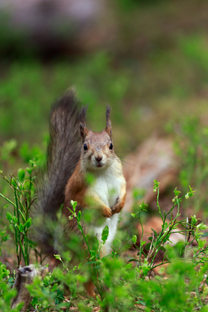 hunted: Red Squirrel: There were three Red Squirrels visiting the bird feeder in Wild Brown Bear lodge near Lentiira, Finland. In ancient day, red squirrel were extensively hunted in Finland for their pelts. Red Squirrel pelts were used as money before coinage. Stock Photo