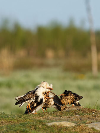 establish: Ruff (Philomachus pugnax): Ruffs Lekking Every spring its time to mate. Ruffs have this lekking behavior where they establish their territory and stave off competitors.