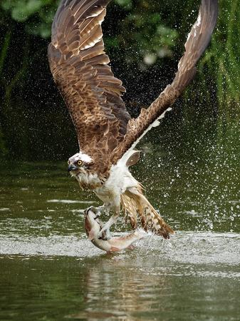 Osprey (Pandion haliaetus): Osprey auch als Fischadler bekannt ist ein Raubvogel. Sie ernähren sich ausschließlich von Fischen. Sie haben eine Spannweite von 1,27 bis 1,8 m.