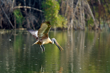 skimming: Spot billed pelican: Spot billed pelican skimming - Vedanthangal bird sanctuary is a birders paradise. There many bird species found there. Spot billed pelican is found in large number nesting and fishing. It is a rare site to see pelicans skimming here.