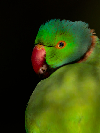 Rose-Ringed parakeet called so due to the red ring around its neck. They are sexually dimorphic with only the male containing the ring around its neck. These are very common birds found in Bharatpur. They are not shy and pose from a very close range. It i Stock Photo