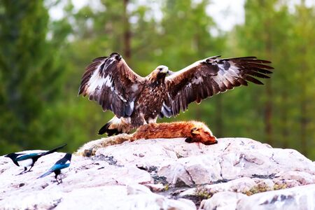 chrysaetos: Golden Eagle (Aquila chrysaetos): Bird hide photography is very popular in Finland. I have participated in one tour offered by Finnature to photograph golden eagles in Utajarvi. The location is set deep into the forest and we had to trek for 10 minutes be Stock Photo