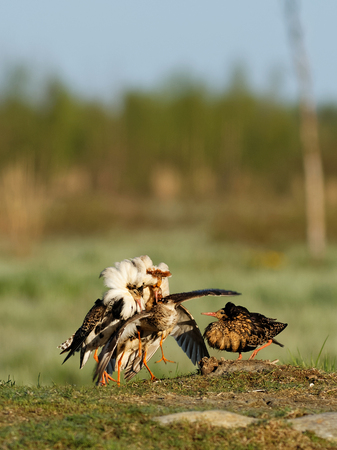 birding: Ruff (Philomachus pugnax): Ruffs Lekking Every spring its time to mate. Ruffs have this lekking behavior where they establish their territory and stave off competitors.