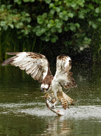 Osprey (Pandion haliaetus): Osprey also known as fish eagle is a bird of prey. They feed exclusively on fish. They have a wingspan of 1.27 to 1.8m.