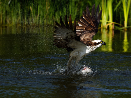 wingspan: Osprey (Pandion haliaetus): Osprey also known as fish eagle is a bird of prey. They feed exclusively on fish. They have a wingspan of 1.27 to 1.8m.