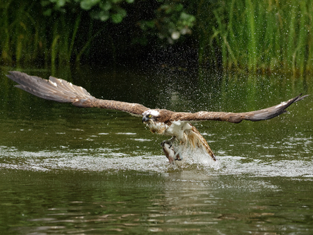 exclusively: Osprey (Pandion haliaetus): Osprey also known as fish eagle is a bird of prey. They feed exclusively on fish. They have a wingspan of 1.27 to 1.8m.