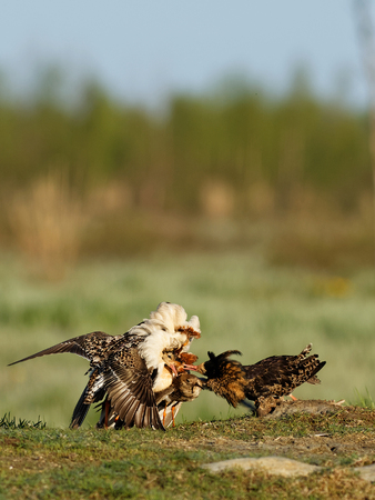 Ruff (Philomachus pugnax): Ruffs Lekking Every spring its time to mate. Ruffs have this lekking behavior where they establish their territory and stave off competitors.