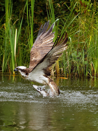 osprey bird: Osprey (Pandion haliaetus): Osprey also known as fish eagle is a bird of prey. They feed exclusively on fish. They have a wingspan of 1.27 to 1.8m.