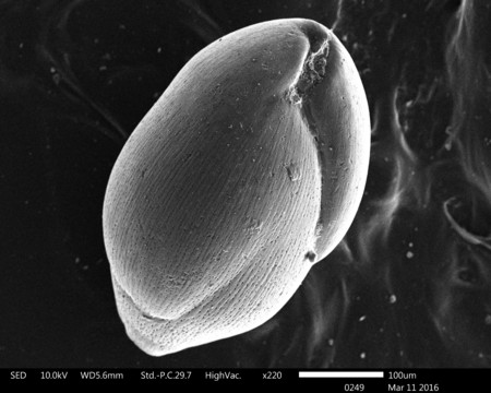 Scanning electron microscope image of a foraminifera