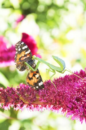 aerials: In summer on a flower played off a whole tragedy.A mantes managed to catch a beautiful butterfly and tries to eat it. Stock Photo