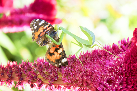 mortally: In summer on a flower played off a whole tragedy.A mantes managed to catch a beautiful butterfly and tries to eat it. Stock Photo