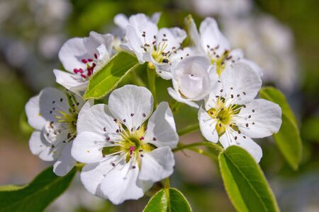 whiff: A flowering tree is a pear, in spring. Stock Photo