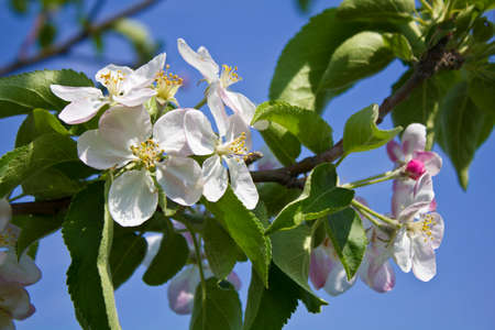 come in: The picture was taken in Ukraine. The picture shows the flowering quince tree. It seems that spring has come finally. Stock Photo