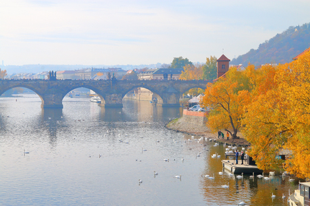 The photo was taken in Prague in the autumn morning. The picture shows a flock of swans floating near the bright orange trees. In the background is the old Charles Bridge.