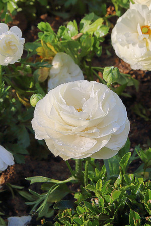 The photo was taken in the city park of Istanbul, in the month of April. The picture shows a white rose with water droplets on the petals. Stock Photo