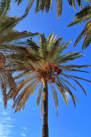 date palm with ripened fruits against a blue sky.