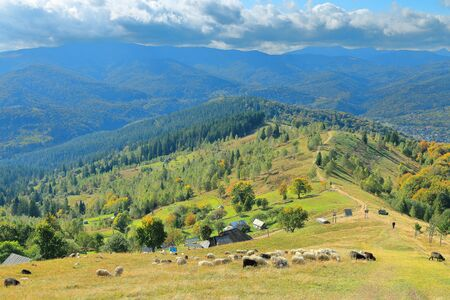 Photo taken in Ukraine. The picture shows a rural landscape of the Carpathian mountains in the autumn, with grazing sheep. Stock Photo