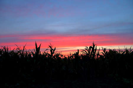 Photo taken in a rural area on the edge of a corn field. The picture shows plant silhouettes against a beautiful sky at sunset. 免版税图像