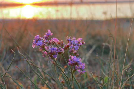 The photo was taken in Ukraine, near a salty estuary in Odessa region. The picture shows wildflowers against a bright sunset. 免版税图像