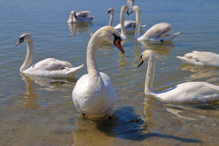 The photo was taken on the Dniester River. The picture shows swans by the river bank begging for food.