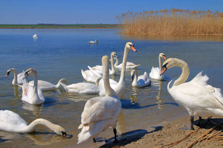 The photo shows a flock of white swans on the banks of the Dniester River.