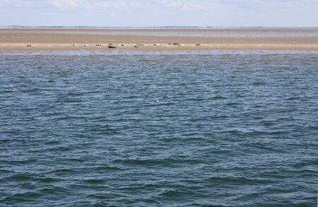 sandbank: Seehunde auf einer Sandbank in der Nordsee