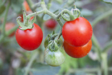 Tomatoes thousand native northern Thailand. Stock Photo - 16754629