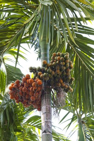 Asian betel palm plants, ornamental garden plant height. photo