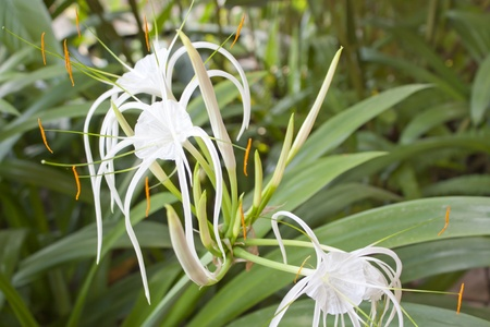 Biennial plants flower white flowers gaysorn small green leaves biennial plants flower white flowers gaysorn small green leaves stock photo 16877537 mightylinksfo
