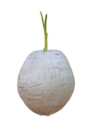 coconut seedlings: Coconut Coconut sprout shoots a white background.