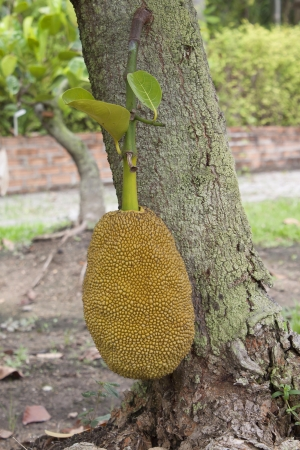 Jackfruit tree Jackfruit hanging fruit sweetened soft green fruit. photo