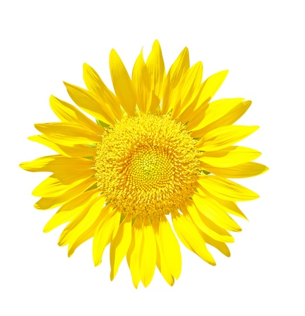 Sunflower Isolated on White + Clipping Path photo