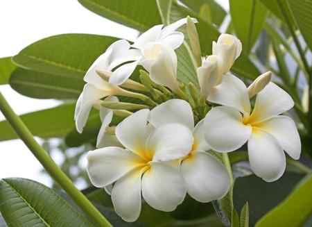 Balinese flower blooming fresh green summer nature. photo