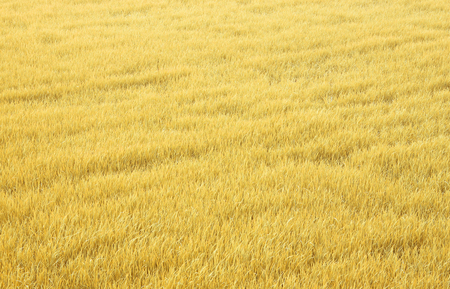 agronomical: Abstract yellow rice decorated with a small white elite. Stock Photo