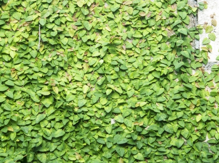 The Green Creeper Plant on the Wall photo